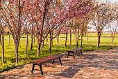 Beautiful cherry blossoms at Tenshochi Park,Kitakami,Iwate,Tohoku,Japan in spring.