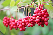 Branches of red schisandra hanging in row. Bunches of ripe schizandra