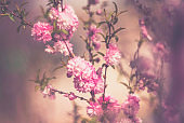 Flowering pink blossoms on tree branches