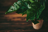 Tropical Monstera Potted Plant on Rustic Table