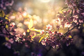 Cherry Blossom trees, Nature and Spring time background. Sakura flowers