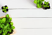 Young sprouts, shoot, seedling, sapling in a wooden box. Flat lay with copy space