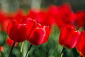Lots of red tulips. The concept of landscape design in the spring, gardening, decorating homestead