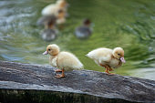 Little Ducklings standing on log and swimming in the pond at morning light. Free-range system. Agriculture, Farming. Happy duck. Cute and humor. Sakon Nakhon, Thailand. Warm tone. Selective focus.