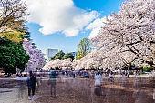 Cherry blossom season in Tokyo - Japan