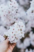 Holding white cherry blossoms
