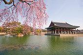 Cherry Blossom in spring at Gyeongbokgung Palace