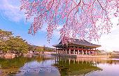 Cherry Blossom in spring at Gyeongbokgung Palace  Seoul,South Korea.
