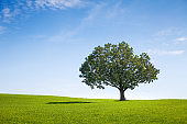Alone tree on green meadow over blue sky background