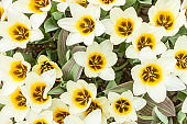 beautiful white and yellow tulips
