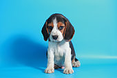 pure breed beagle Puppy on light blue screen