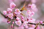 Beautiful cherry blossom flower