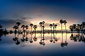 row of palm trees in silhouette reflect on the surface water of the river at sunrise