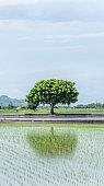 Landscape View Of Beautiful Paddy Field (Rice Plantation) At Brown Avenue, Chishang, Taitung, Taiwan