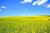 Yellow Canola Flower field, Washington-USA