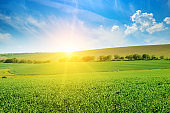 Green pea field and sunrise in the blue sky.