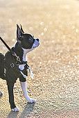 Boston Terrier Puppy Going on Walk