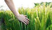 Woman hand touching rice crop