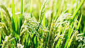 Close up of rice crop