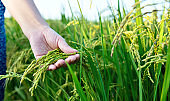 Woman hand holding rice crop
