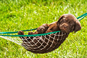 A Chocolate Labrador Puppy taking an afternoon nap in a hammock outside - 5 weeks old