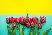 Tulips on turquoise and yellow background with text space.