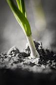 springtime garlic plant organic plant close up growing in home garden