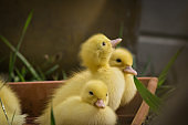 group of cute yellow fluffy ducklings in springtime green grass, animal family concept
