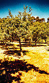fruit orchard dry sun drenched soul heat wave drought trees - shot on film