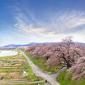 View of Cherry Blossom or Hitome Senbon Sakura festival at Shiroishi riverside and agricultural plants, Sendai, Miyagi, Japan
