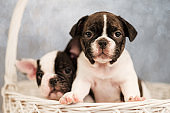Two French Bulldog puppies are sitting in a basket