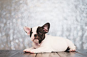 The puppy of the French bulldog lies on the floor of the boards.