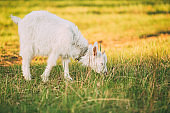 Kid Goat Grazes On Green Summer Grass On A Sunny Day. Goat Eating A Grass On Green Meadow