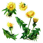 The set of colors of yellow dandelions with watercolors.