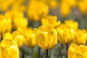Tulips in Sakura City, Chiba Prefecture, Japan