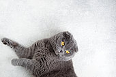 Scottish fold cat lying on white background. Banner with cat