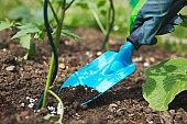 Hand in glove holding shovel and fertilize seedling in organic garden