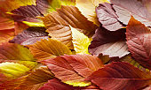 autumn leaves. Colorful autumn leaves of wild grapes. Autumn time. autumn wallpaper. autumn background.