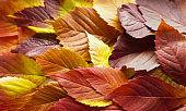 autumn leaves. Colorful autumn leaves of wild grapes. Autumn time. autumn wallpaper. autumn background.