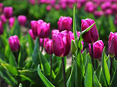 Vibrant Pink Tulips in Bloom