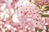 Pink japanese cherry blossom flower tree back lit