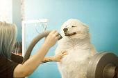 Groomer drying dog in pet salon