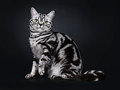 Excellent black silver tabby blotched green eyed British Shorthair cat kitten sitting side ways, one paw lifted looking straight at lens. Isolated on black background.