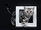 Amazing cute black silver tabby British Shorthair cat kitten standing side ways through a white pictureframe, looking beside lense, isolated on black background