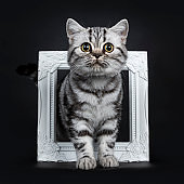 Amazing cute black silver tabby British Shorthair cat kitten standing front view through a white photo frame, looking straight in lense, isolated on black background