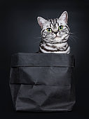 Excellent black silver tabby blotched green eyed British Shorthair cat kitten sitting straight in black paper bag, looking at camera. Isolated on black background.