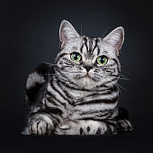 Excellent black silver tabby blotched green eyed British Shorthair cat kitten laying down front view, looking at camera. Isolated on black background.