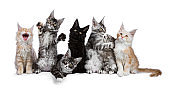 Row of 7 Maine Coon cat / kittens acting funny isolated on a white background