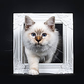 Beautiful tabby point Sacred Birman cat kitten stepping with white paw through a white picture frame looking at camera, isolated on black background