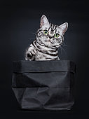 Excellent black silver tabby blotched green eyed British Shorthair cat kitten sitting straight in black paper bag, one paw lifted looking above camera. Isolated on black background.